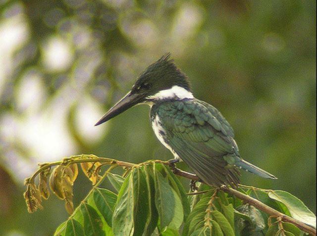 Amazon Kingfisher - female - Len Blumin