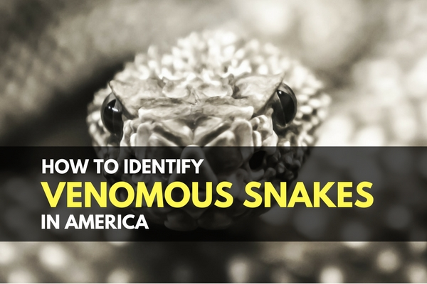 How to Identify Venomous Snakes in America