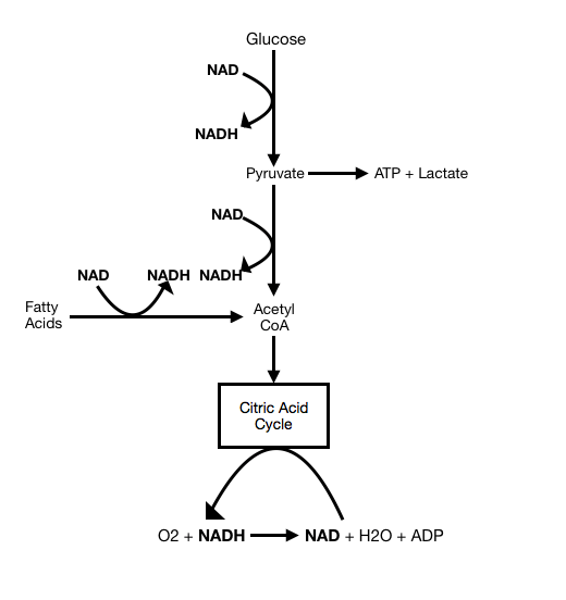NADH to create ATP