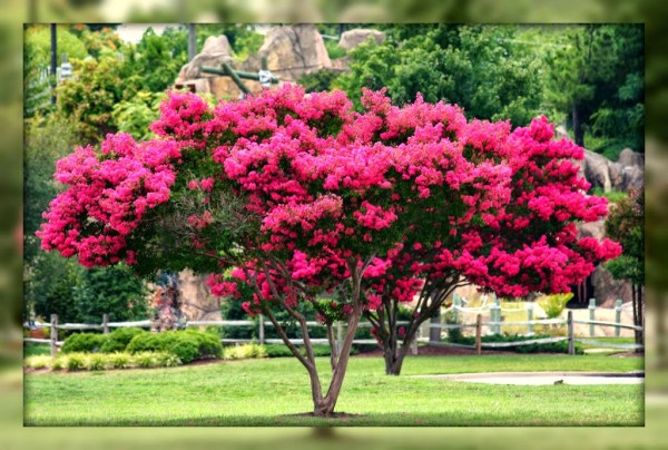 's deal with crepe myrtles