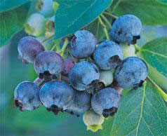 blueberry plants for sale