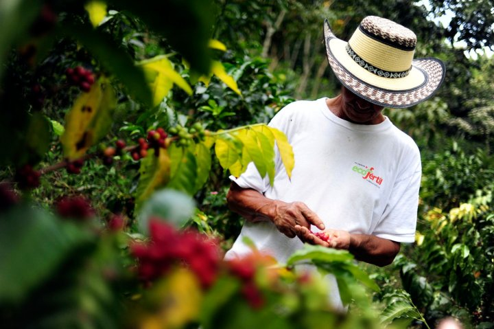 A coffee farmer inspects his crop in Colombia's southwestern Cauca department. By Neil Palmer (CIAT). Some rights reserved