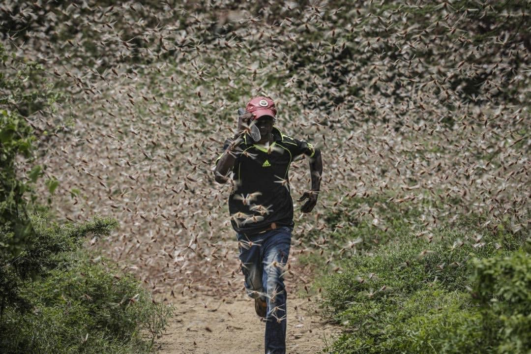 Enjambre de locus en África, ¿viene el hambre? Abril 2020