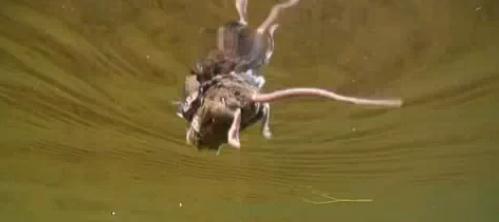 Rato a nadar - pesca às trutas