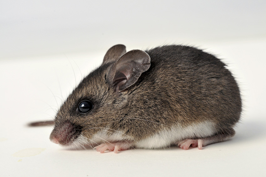 Deer Mouse Control, Trapping & Removal: Get Rid of Deer Mice
