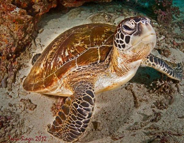 Tovia's Turtle