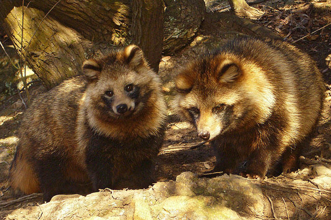 raccoon dog, Asiatic raccoon, skinned alive