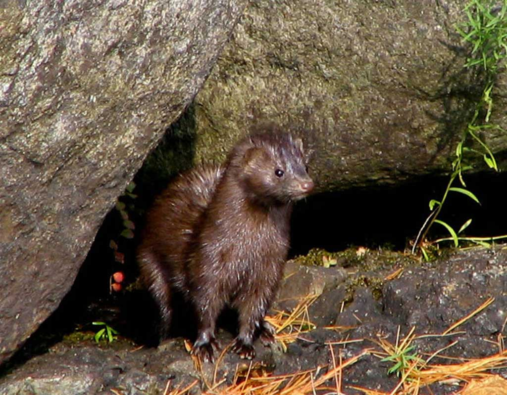 sustainability is not an issue for American mink