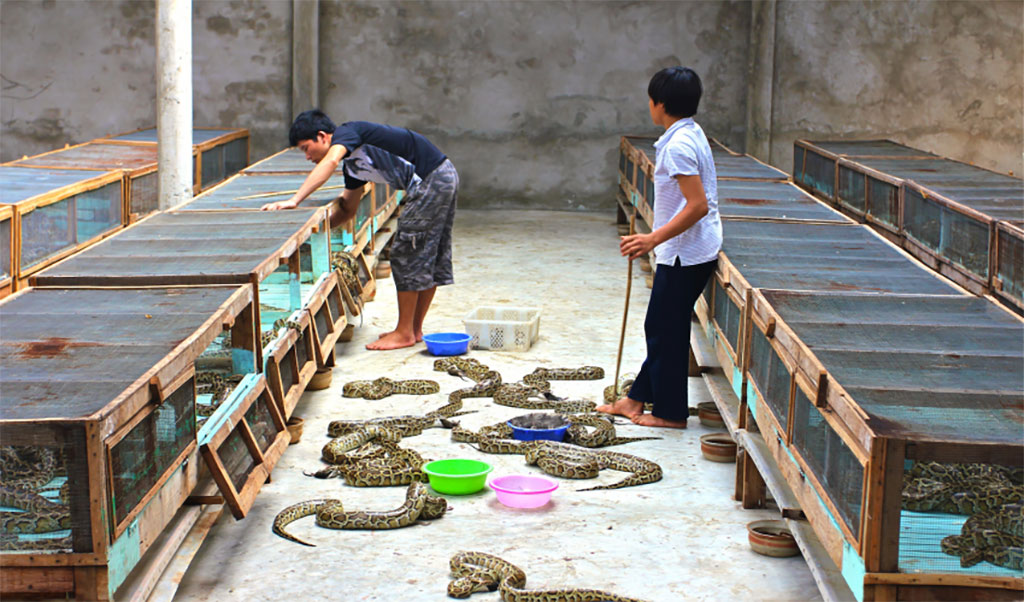 python farming for sustainable fashion