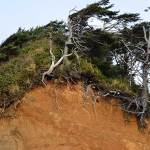 A hillside of orange dirt worn away by wind and waves, topped with grasses and trees, The bare roots of the trees are exposed and the trees look weather beaten and gnarled.