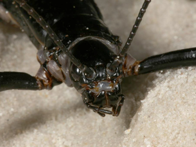 ecu_img_stick-insects---dryococelus-australis-44-e76053704dcfbe8916f0354cc21db4cc1c173394-s800-c85