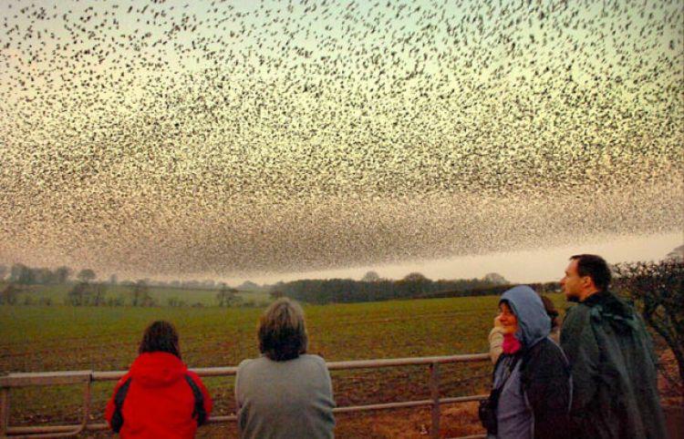 starlings_scotland_1