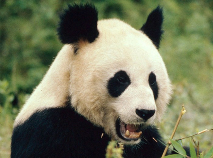 save-panda