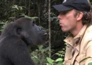 watch-a-gorilla-reunite-with-the-man-who-raised-him