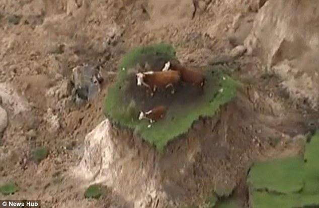 new-zealand-cows-clifftop