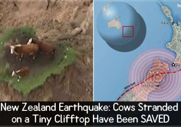 New Zealand Earthquake: Cows Stranded on a Tiny Clifftop Have Been SAVED