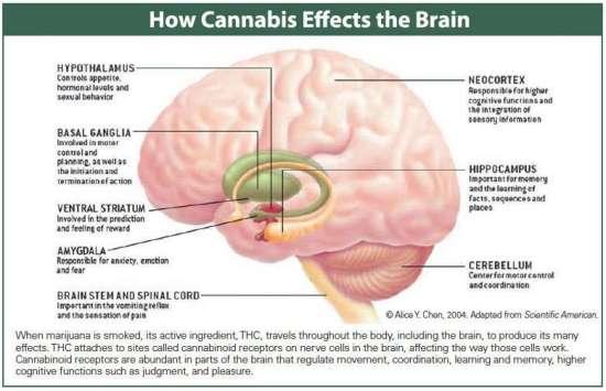 How Cannabis Effects the Brain.