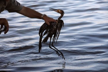Bird In Oil Spill