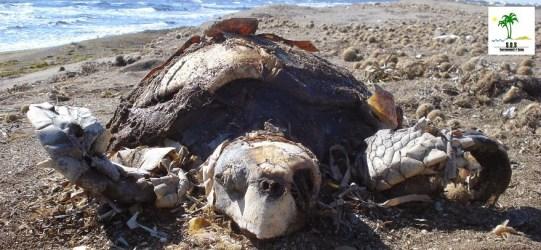 Turtle Population Killed