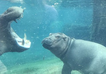 Baby Hippo Fiona