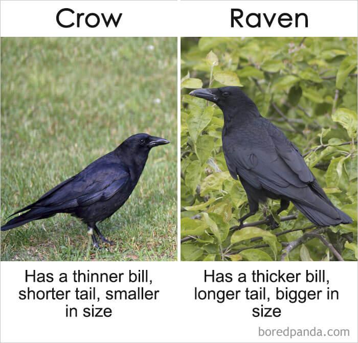 13. Crow vs Raven