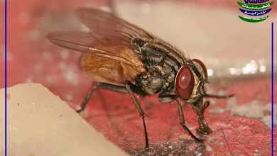 ما هي أضرار الذباب, ما هي أضرار الذباب, شركة المركز العالمي