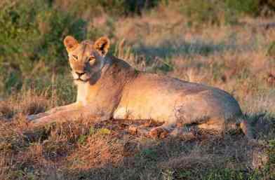Lion Safaris Tsavo Ouest en camp Kenya de Diani 2jours