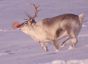Fat Rudolph the Red Nosed Reindeer