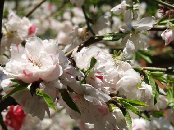 桃のお花見
