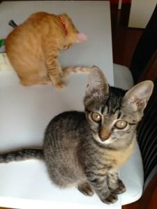 我が家に2匹目の仔猫がやってきました!ソルちゃんの妹分、ルナちゃんです!!