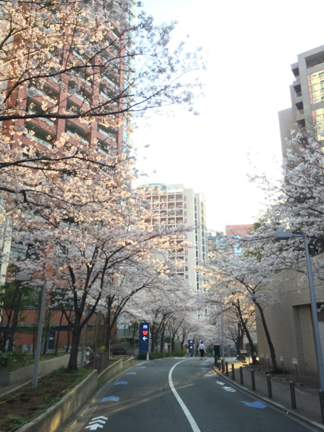 桜咲くなか早朝5kmラン!いろいろ整えていきましょう!! [ランログ]