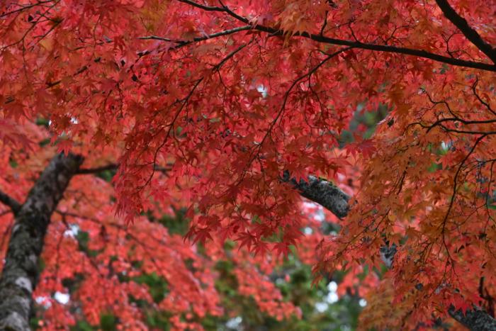高野山 紅葉情報 1日目 標高800メートルの山は真っ赤に燃えていた!!  [2015年晩秋の旅 旅行記 その14]