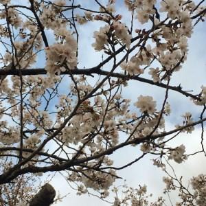 やっぱり朝がいいね!桜を求めて名所を巡る 早朝12.5kmラン!! [ランログ]