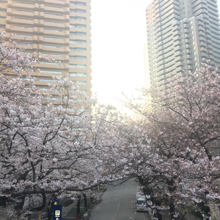 いよいよ桜が見頃に! 3月最終お花見8km早朝ラン!! [ランログ]