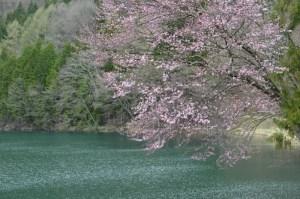 中綱湖 〜 長野大町市の仁科三湖の一つ 淡く咲く早春の桜が寒い中美しかった!!  [2016年4月 長野旅行記 27]