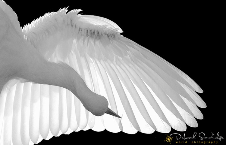 North America, USA, Florida, St. Augustine, Black and White backlit capture of a graceful white bird preening her feathers.