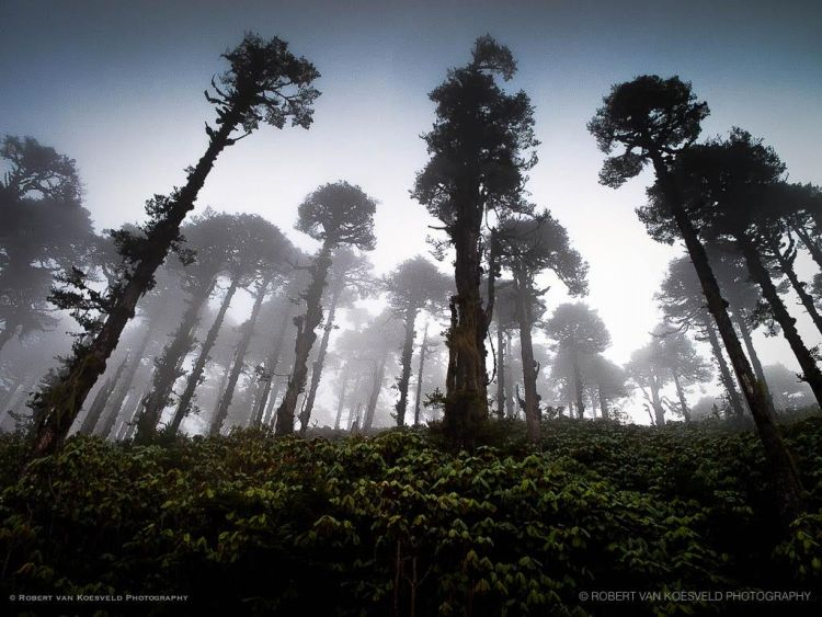 Cedars and Rhodos in clouds - Bhutan