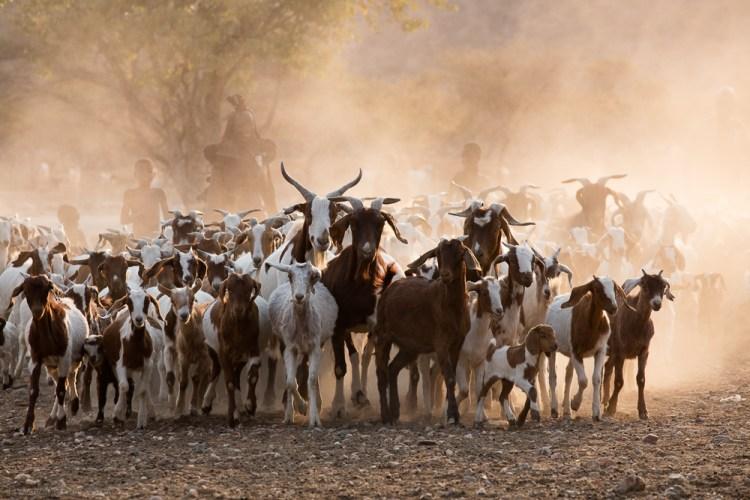 Himba Goat Herding