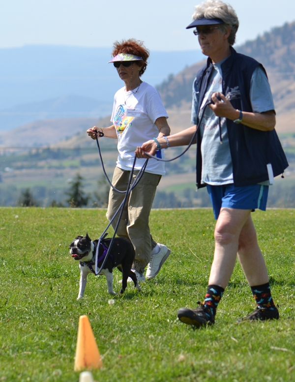 Two Tellington TTouch Practitioners lead a Boston Terrier in the Bee Line leading position.