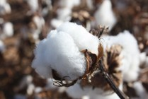A cotton bud at full bloom. Photo courtesy of Mary Jane Buerkle with Plains Cotton Growers.