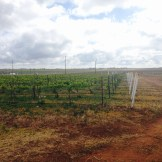 Farmers started growing wine grapes in West Texas in the 1970s.