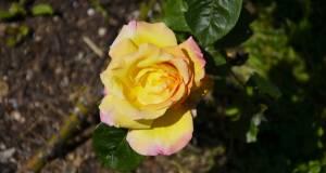 roseto