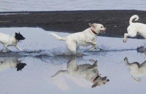 corso dog manager
