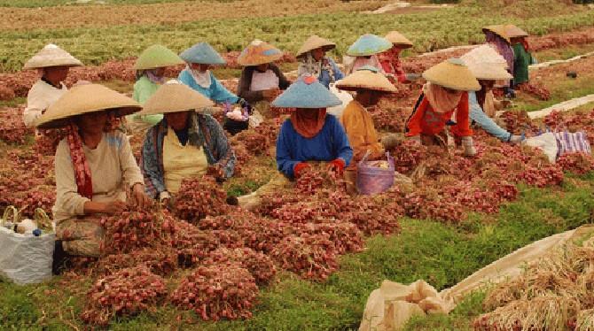 petani-bawang-brebes-