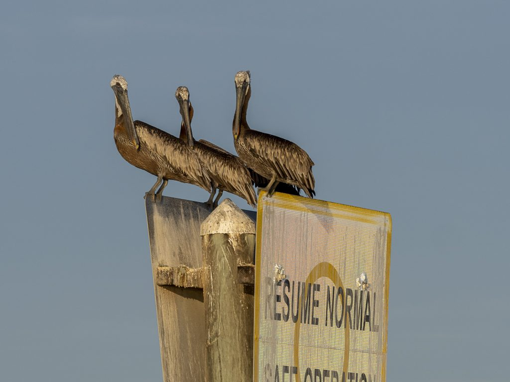 Pelicans in the Lagoon