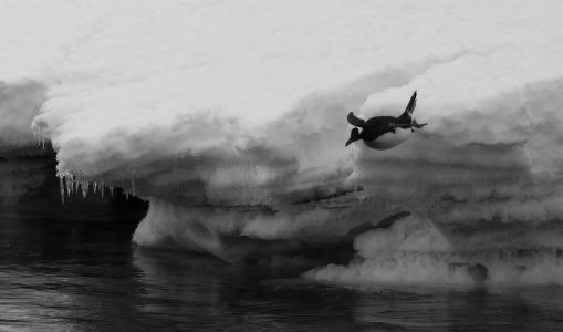 diving penguin Antarctica
