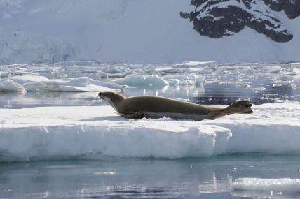 seal on ice Antarctica