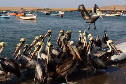 Pelicans Peru
