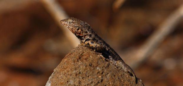 lizard Galapagos