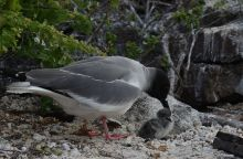 baby bird Galapagos